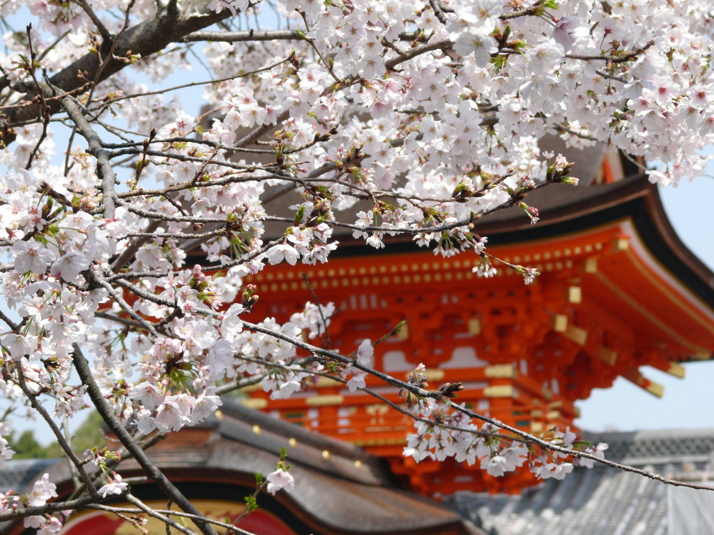 桜×御社殿①